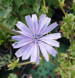 Spotlight on Chicory (Cichorium intybus)