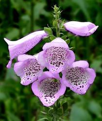 Plant Foxgloves Now