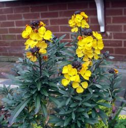 Erysimum 'Bowles's Yellow' - Hardy Plant Society Endangered Plant