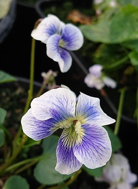 Viola sororia 'Princeana'