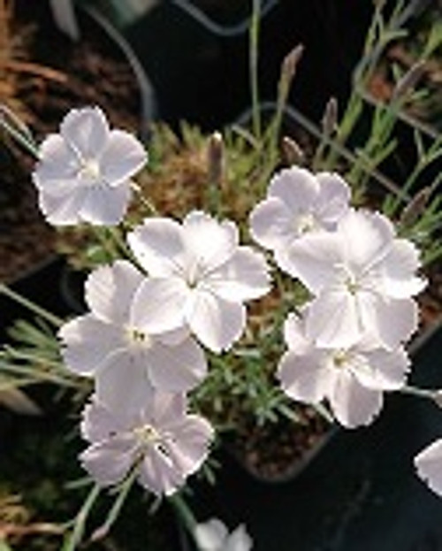 Dianthus 'Nyewoods Cream'