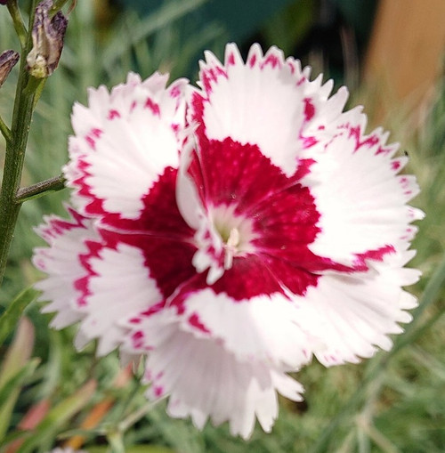 Dianthus 'Painted Lady'
