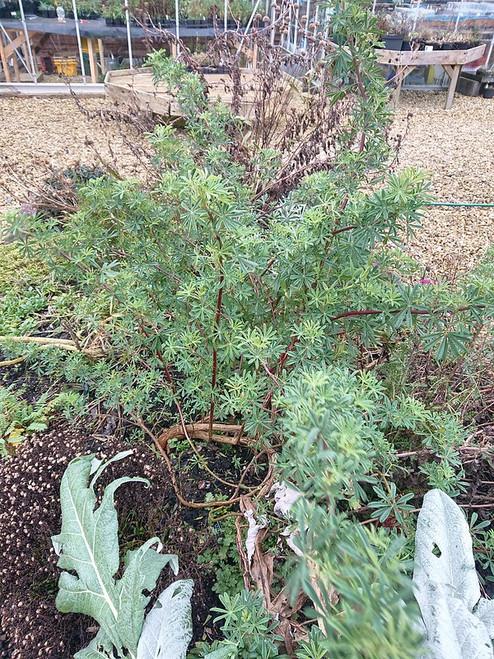 Lupinus arboreus White Form (White Tree Lupin)