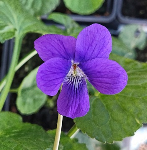 Viola odorata 'Bournemouth Gem'