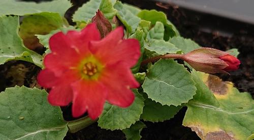 Primula wanda 'Tomato Red'