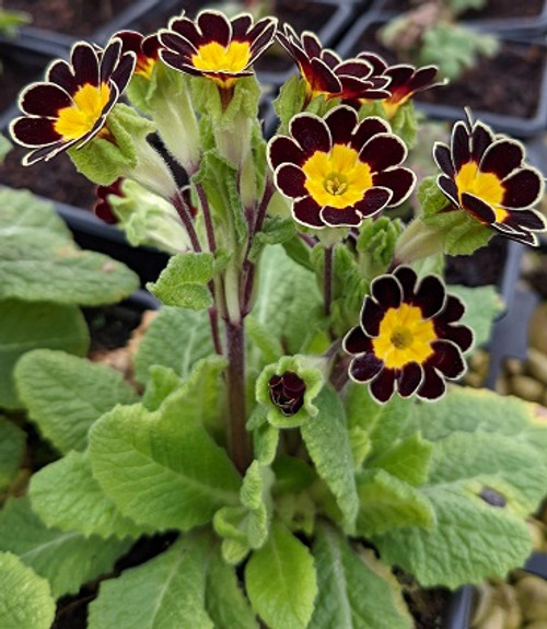 Primula 'Gold Lace Jack in the Green'
