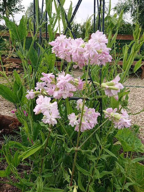 Saponaria officinalis 'Flore Pleno'