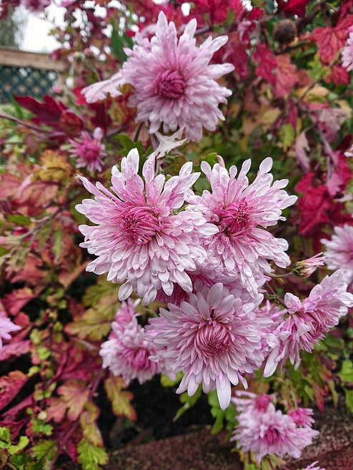 Chrysanthemum 'Emperor of China'