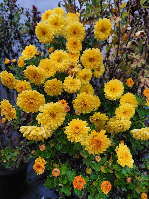 Chrysanthemum 'Nantyderry Sunshine'