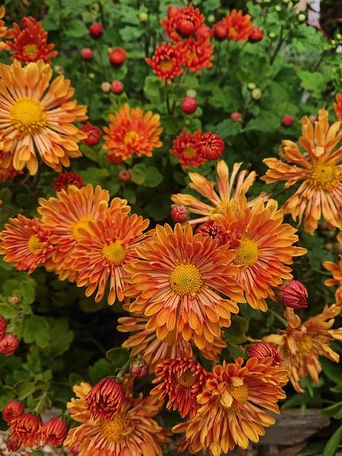 Chrysanthemum 'Starlet'