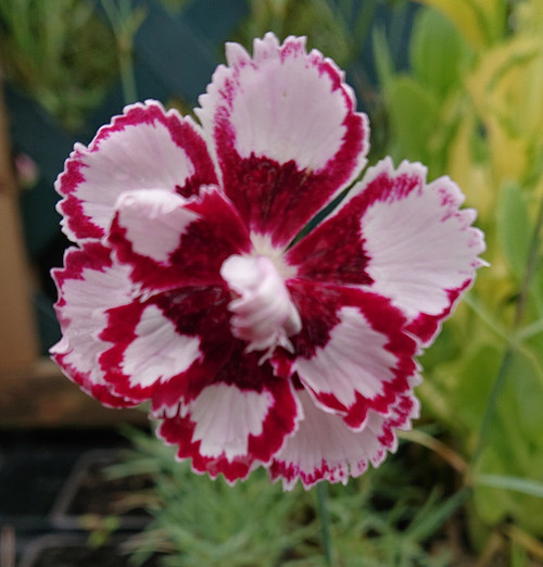 Dianthus 'Little Ben'