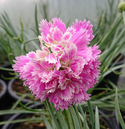 Dianthus 'Murray Douglas'