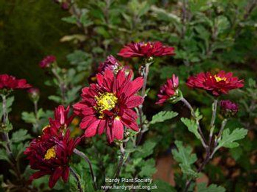 Chrysanthemum 'Buxton Ruby'