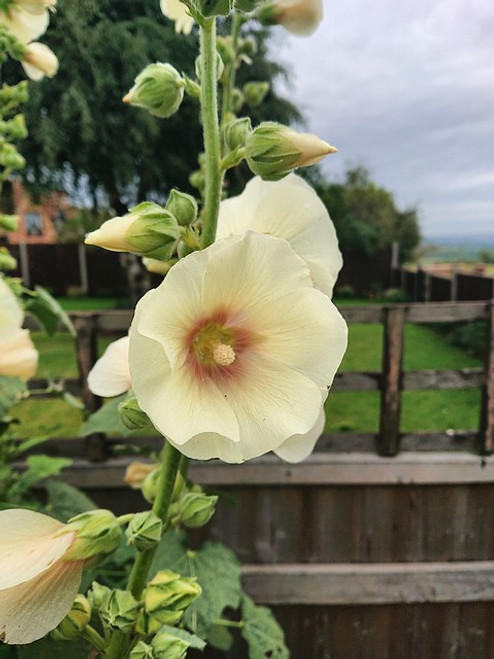Alcea ficifolia 'Yellow'