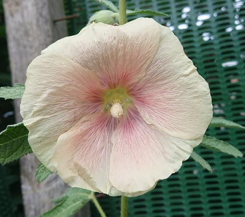 Alcea ficifolia 'Pink'