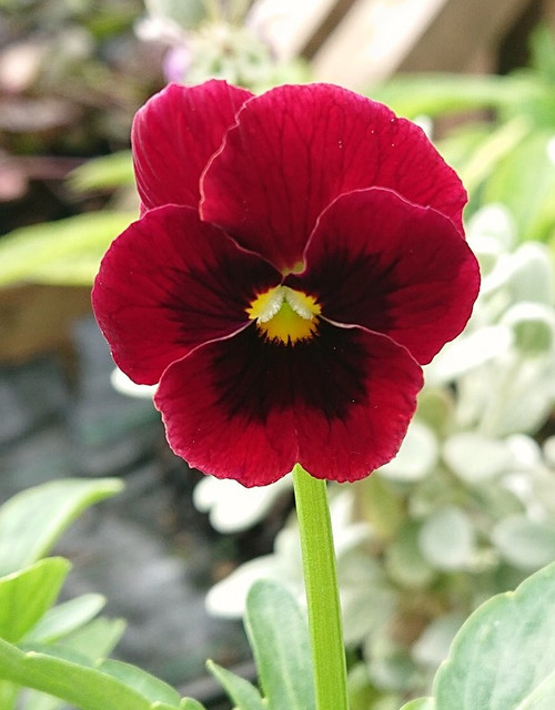 Viola 'Arkwright's Ruby'