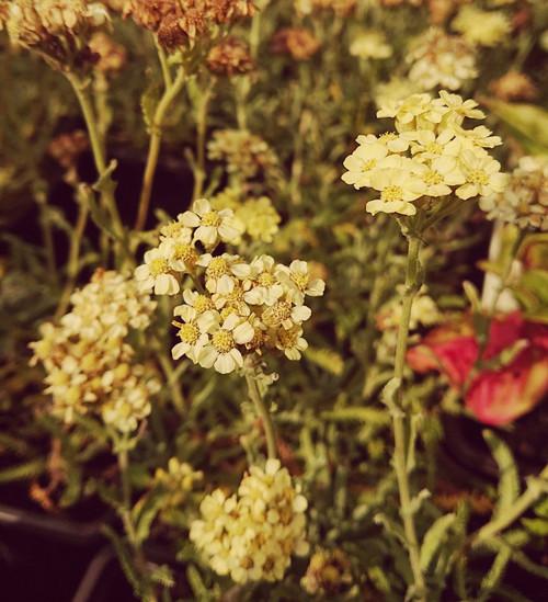Achillea × lewisii 'King Edward'