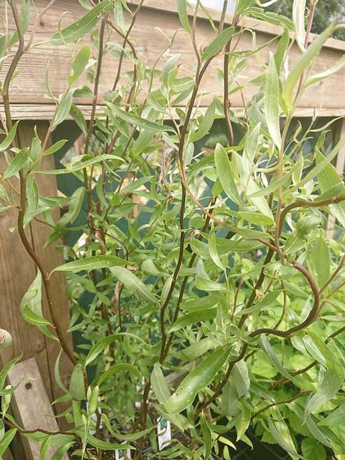 Salix × sepulcralis 'Dart's Snake'
