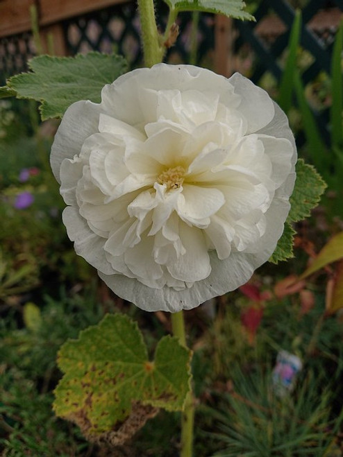 Alcea 'The Bride'