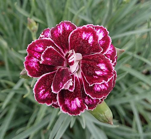 Dianthus 'Hope'