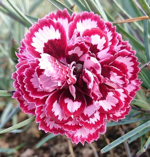 Dianthus 'Petticote Lace'