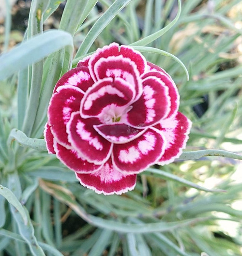 Dianthus 'Becky Robinson'