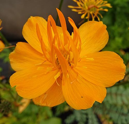 Trollius chinensis 'Golden Queen'
