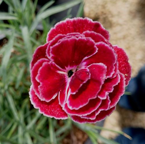 Dianthus 'Hannah Gertsen'