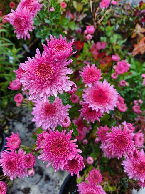 Chrysanthemum 'Elspeth'