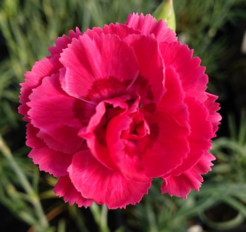 Dianthus 'Ruby Doris'