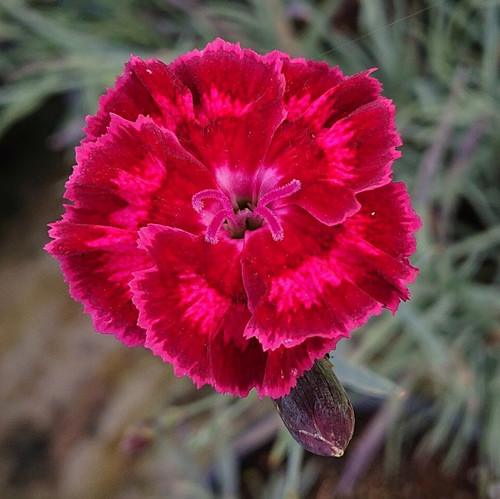 Dianthus 'Brympton Red'