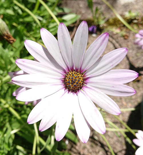 Osteospermum 'Shire Pink'