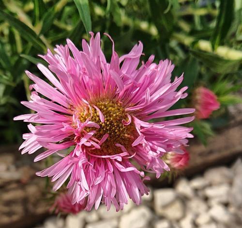 Aster novae-angliae 'Pink Parfait' (Symphyotrichum)