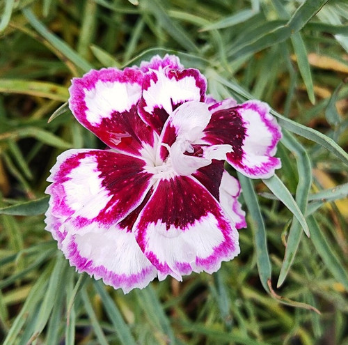 Dianthus 'London Lovely'