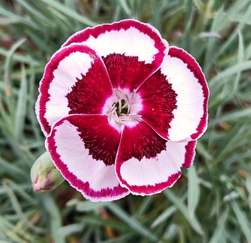 Dianthus 'Anders Fay Seagrave'