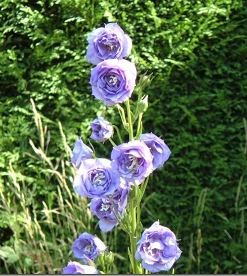Campanula persicifolia 'Double Silver Blue'