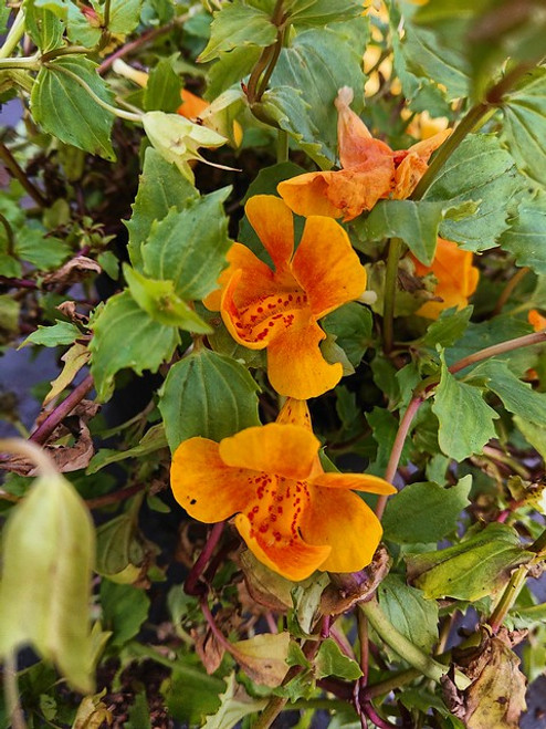 Mimulus 'Orange Glow'