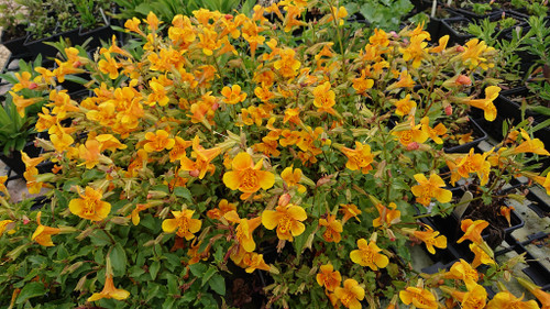 Mimulus 'Orange Glow' (Monkey flower)