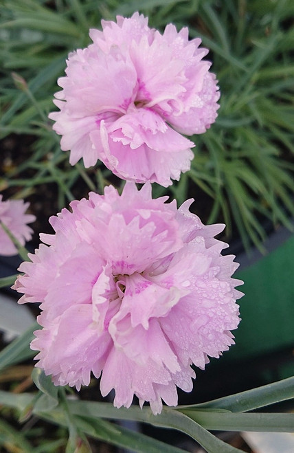 Dianthus 'Pikes Pink'