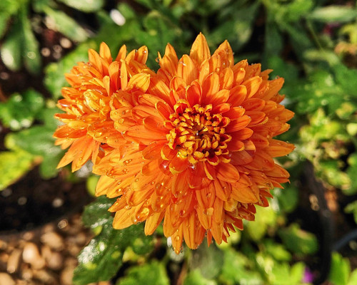 Chrysanthemum 'Dixter Orange'