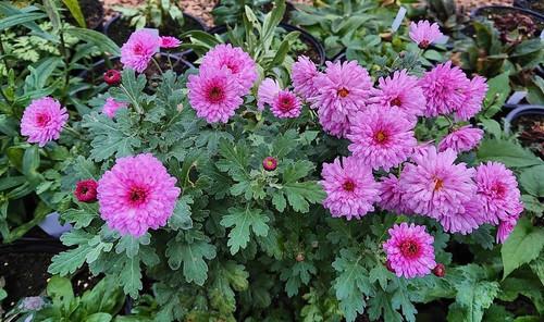 Chrysanthemum 'Mei-kyo'
