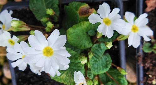 Primula 'White Wanda'