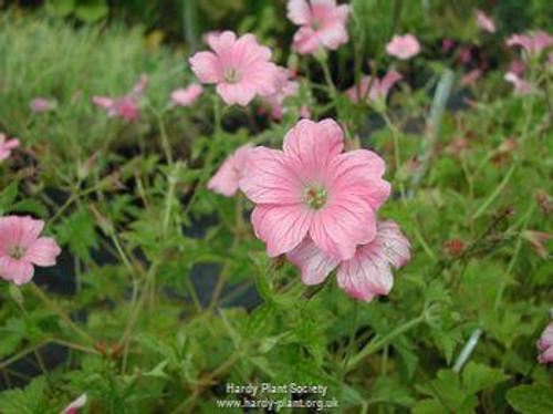 Geranium x oxonianum 'Wargrave Pink'