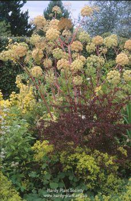 Angelica sylvestris 'Ebony'