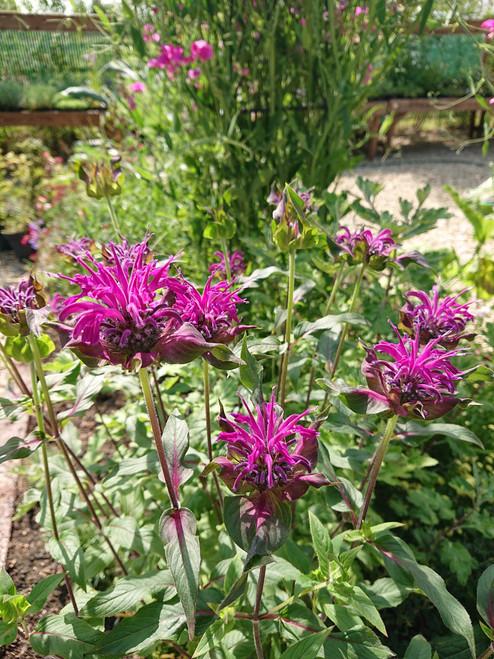 Monarda 'Westacre Purple'