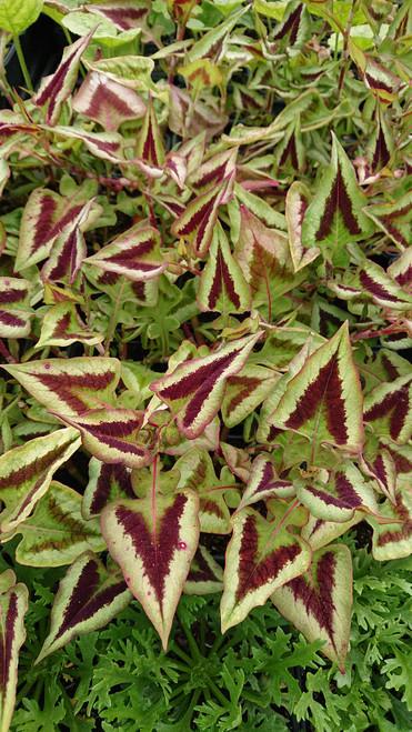 Persicaria runcinata 'Purple Fantasy'