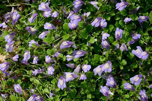 Mazus reptans (Chinese marshflower)