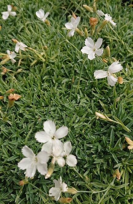 Dianthus 'La Bourboule Alba'