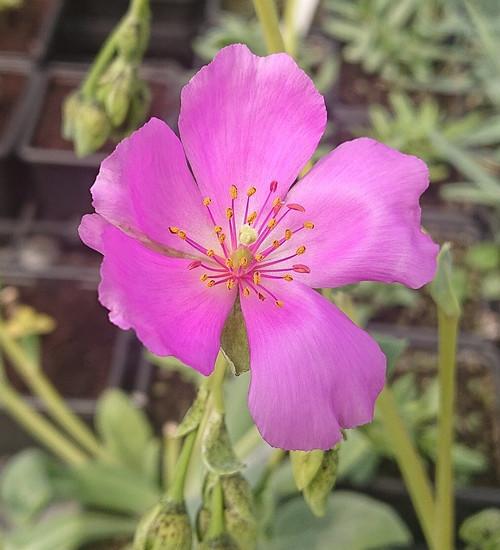Calandrinia grandiflora (Rock Puslane)