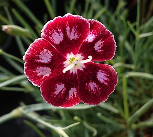 Dianthus 'Marjery Breeze'